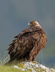 Golden Eagle (Thy Photography) Tags: wildlife animal nature outdoor backyard california bird sunrise sunset dawn dusk sunshine thyphotography goldeneagle raptor raptors sanfranciscobayarea sonya9 sonya7rm4 sonya9ii avian animals birdofprey birds prey photography sanbenitocounty californiasunshine