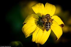 Rückblick 2019 - Wann fliegen sie wieder ? (J.Weyerhäuser) Tags: botanischergarten biene bee blume flower