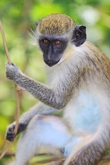 Hanging Out with these Monkeys in Nevis (Thomas Hawk) Tags: westindes fourseasonsnevis fourseasons caribbean monkey nevis fav10 fav25 fav50 fav100