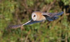 Barn Owl (KHR Images) Tags: barnowl barn owl tytoalba wild bird birdofprey hunting flying daytime sunshine cambridgeshire fens wildlife nature nikon d500 kevinrobson khrimages