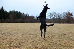 snap shot (bkellerstrass) Tags: flickrfriday pet dog hund haustier ball catch jump black outdoor rain regen draussen bewölkt cloudy wiese meadow