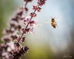 Small Aviator (bin.angeknipst) Tags: bokeh insekten summen insekt nature anflug biene insects insect osterburken basilikum summer macro flieger fliegen honeybee macrophotography kräuter flug naturephotography flügel bee sommer