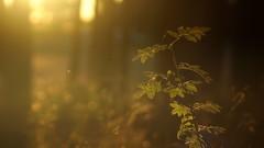*** (pszcz9) Tags: las forest forestimages przyroda nature natura naturaleza zachódsłońca sunset bokeh drzewo tree beautifulearth sony a77