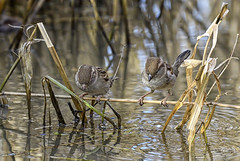 I warned him not to dive! (photogramps) Tags: sparrows birds wildlife humour reeds rivers wwt rspb