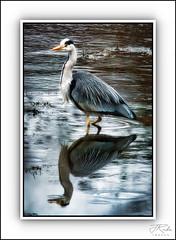 Photo of Rainy Day Heron