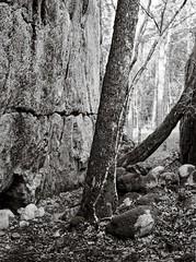 In the gorge (Geir Bakken) Tags: fomapan fomadon rodinal r09 fujicags645 mediumformat 120film 120 vintagecamera blackandwhite bw landscape tree gorge film filmisnotdead filmphotography filmcamera analog analogphotography