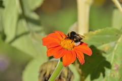 Butineuse (Olivier Simard Photographie) Tags: abeille fleur automne parcdeschoppenwihr alsace llva couleurs colmar bennwihr jaune flore bokeh orange pétales insecte animal