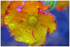 Drizzle (L@nce (ランス)) Tags: flower macro micro nikkor 40mmf28micronikkordxafs jamesbay victoria canada britishcolumbia