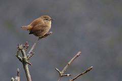 Wren (steve whiteley) Tags: bird birdphotography wildlife wildlifephotography nature wren troglodytestroglodytes derbyshirewildlife canon7dmkii
