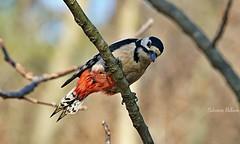 Picchio rosso maggiore ( Dendrocopos major )II (SALVO 1) Tags: picchio rosso uccello