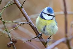Blue Tit (Dougie Edmond) Tags: castledouglas scotland unitedkingdom bird nature tit wildlife