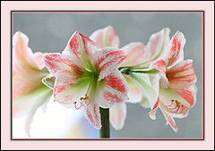 Eye-Candy Amaryllis (bigbrowneyez) Tags: flower blooms amaryllis gorgeous beautiful pretty soft delightful lovely eyecandy magical dreamy ottawa canada elegant huge fancy striking stunning amazing petals specia nature natua special fiori bellissimo bello fleurs striped