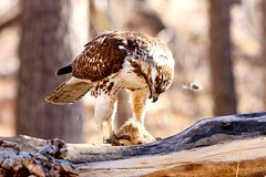 Red-tailed Hawk enjoying lunch in Cherry Creek State Park, Colorado. (Great and Small Photography) Tags: bird birdsofprey hawk redtailedhawk birdsofflickr hawksofflickr unlimitedphotos canon canonusa canont6i sigma100400 naturephotography naturelovers nature naturephotographer wildlifephotography wildlifephotographer coloradobirds coloradowildlife coloradostateparks cherrycreekstatepark photography