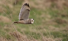 Shortie (Alan McCluskie) Tags: shortearedowl owlinflight birdofprey birdinflight sigma150600mmsp canon7dmk2