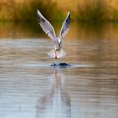 It's just a seagull (Paul wrights reserved) Tags: bird birds birdphotography birdinflight flying flight bokeh bokehphotography water waterbird seabird seagull seagulls nature naturephotography wildlife wildlifephotography