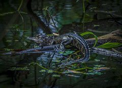 Baby Gator (trishhartmann) Tags: florida reptiles hillsboroughriver tampa alligator
