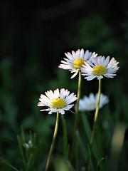 bouquet de pâquerettes (danielled61) Tags: pâquerettes bouquet fleur flower pelouse soleil février hiver