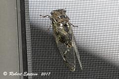Dusk-calling Cicada 1 (Robert Epstein) Tags: arthropods cicadas duskcallingcicadatibicenauletes florida manateecounty truebugs twinrivers wildlife yard