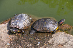 Turtles (Rick & Bart) Tags: japan nippon 日本 rickbart city landoftherisingsun rickvink canon eos70d kyoto 京都市 waterschildpad turtle yurtletheturtle reptile