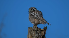 Northern Hawk Owl  6921 (Paul McGoveran) Tags: bif bird birdinflight nature nikon500mmf4 nikond500 nikond850 northernhawkowl ontario schomberg wings