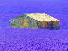 P1810046 (alainazer) Tags: valensole provence france fiori fleurs flowers fields champs colori colors couleurs lavande lavanda lavender maison casa house pierres piedras pietra stones