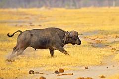 Raging bull (John Kok) Tags: zimbabwe hwangenationalpark littlemakalolo october2012 capebuffalo buffalo synceruscaffer nikkor40028vr2