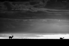 Chasing Love (Khurram Khan...) Tags: wildlife wildlifephotography wwwkhurramkhanphotocom khurramkhan bealpha sonyalpha wild monochrome blackandwhite clouds africa kenya masaimara