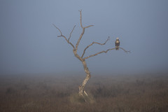 Marsh Harrier in the Mist (Daniel Trim) Tags: bird birds prey raptor marsh harrier circus aeruginosus hides de el taray spanish spain nature wildlife steppe eurasian european europe iberia small frame environmental mist