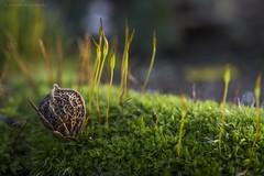 Celtis Australis seed on a moss carpet. (Jesús Puigmartí) Tags: color seeds macrophotography macro moss details light nature tamron90mm focus photo photographer catalonia catalunya lleida celtisaustralis pyrenees pyrénées pirineus pirineos