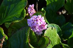 Buçaco (hans pohl) Tags: portugal centre luso buçaco nature fleurs flowers plantes plants feuilles leafs elephantsears