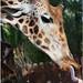 Girafe (Zoo Oasis-Fuerteventura/Canaries)