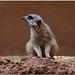 Suricate (Zoo Oasis - Fuerteventura-Canaries)