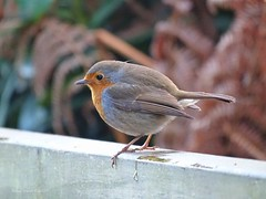 Cheeky Robin (Belinda Fewings (5 million views. Thank You)) Tags: wildlife tiny beautiful nature robin bird sonydschx400v belindafewings nationalgeographicwildlife rspb bbcspringwatch