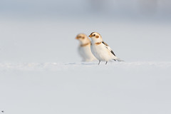 ''Son double!'' Plectrophane des neiges-Snow bunting (pascaleforest) Tags: oiseau bird animal passion nature nikon wild wildlife faune québec canada