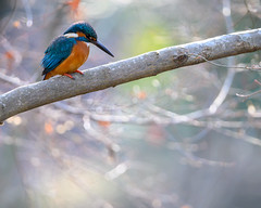 Kingfisher (shinichiro*@Hokkaido-until0217) Tags: 東京都 日本 20200106ds29095 町田市 2020 crazyshin nikonz6 z6 ftz sigma150600mmf563dgoshsmcontemporary winter january tokyo japan jp 薬師池公園 bird birds sspriority isoauto 49496775392 9843926 202002esp