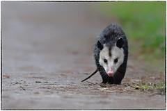 Lonesome Possum (RKop) Tags: circlebpreserve florida raphaelkopanphotography nikon d500 600mmf4evr virginiaopossum didelphisvirginiana