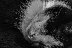 Otro cachito (Egg2704) Tags: gato gata cat cats felino feline tola blancoynegro blackandwhite blanconegro blackwhite byn bn monocromo monochrome montsesanjuan egg2704 animal