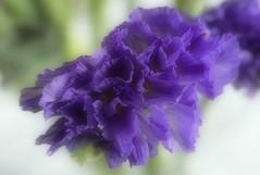 Dreamy Purple (shelly.morgan50) Tags: statice bouquet shellymorgan50 panasoniclumixdczs200 purple flower flowerphotography midwest usa macro bokeh macroflowerlovers delicate soft nature flowerscolors
