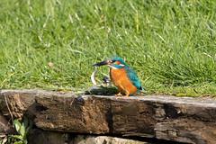 The kingfisher and the fish #1 of 4 (Steve Balcombe) Tags: bird kingfisher alcedo atthis feeding fish bridgwaterandtaunton canal bathpool moorings somerset uk