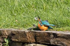 The kingfisher and the fish #2 of 4 (Steve Balcombe) Tags: bird kingfisher alcedo atthis feeding fish bridgwaterandtaunton canal bathpool moorings somerset uk