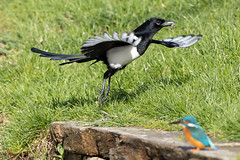 The kingfisher and the fish #4 of 4 (Steve Balcombe) Tags: bird kingfisher alcedo atthis feeding fish magpie picapica stealing bridgwaterandtaunton canal bathpool moorings somerset uk