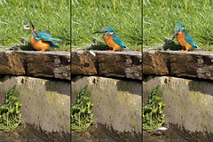The kingfisher and the fish #3 of 4 (Steve Balcombe) Tags: bird kingfisher alcedo atthis feeding fish bridgwaterandtaunton canal bathpool moorings somerset uk