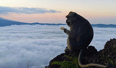 mister monkey above the sky (thingsihaveseen) Tags: indonesia bali monkey monkeys batur volkano hiking treking huawei p30 pro smartphone
