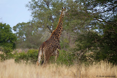 Giraffe (leendert3) Tags: leonmolenaar southafrica krugernationalpark wildlife wilderness wildanimal nature naturereserve naturalhabitat mammal giraffe ngc npc