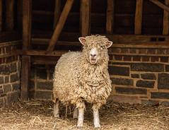 Question: (Hayseed52) Tags: sheep joke funnysheep wooly farm frontierculturemuseum virginia funny talking
