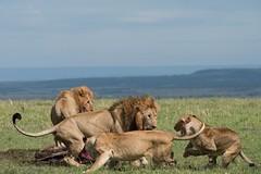 Lions on the Masai Mara (Ian.Kate.Bruce's Wildlife) Tags: lion pantheraleo felidae bigcats wildlife mammal nature ianbruce katebruce masaimara kenya africa