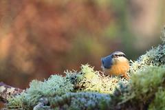 sitelle torchepot nuthatch (denisaguilar1) Tags: nuthacthsitelletorchepot oiseaux faune sauvage ornithologie