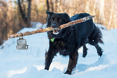 Picture of the Day (Keshet Kennels & Rescue) Tags: adoption dog dogs canine ottawa ontario canada keshet breed animal animals kennel rescue pet pets nature photography run play fetch stick medal award
