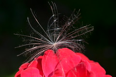 Приземлилась... (Angelok-Happy) Tags: сад лето роза пушинка звездочка легкость природаgarden summer nature fluff lightness star rose flight