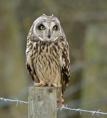 Short-eared Owl (KHR Images) Tags: shortearedowl short eared owl seo asioflameus wild bird birdofprey perched fendraytonlakes rspb cambridgeshire fens wildlife nature nikon d500 kevinrobson khrimages